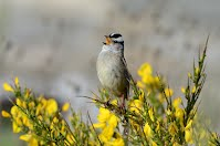 White-crowned Sparrow perched among flowers and singing.