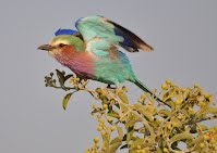 Lilac-breasted Roller bird, Botswana.