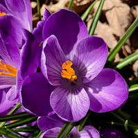 Spring Crocus flower in bloom.