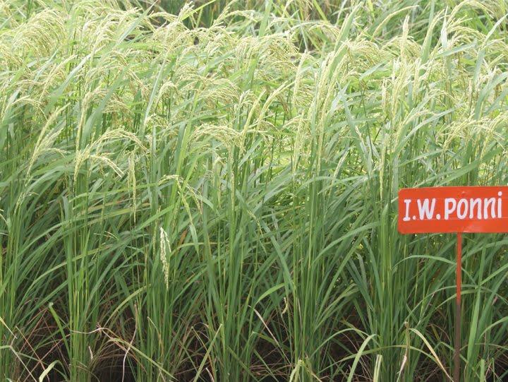 TNAU Rice ADT 50