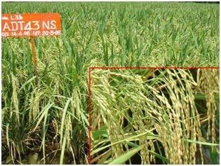 Breeding - Tamilnadu Rice Research Institute, Aduthurai