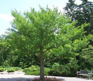 ukrasno drvo ginko biloba