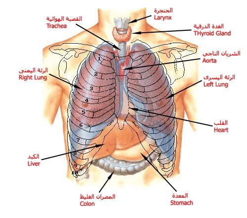 نتيجة بحث الصور عن القفص الصدري يحمي الاجهزة