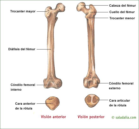 Fémur - Osteología