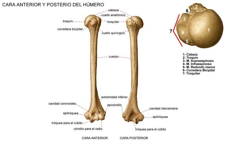 Húmero - Osteología
