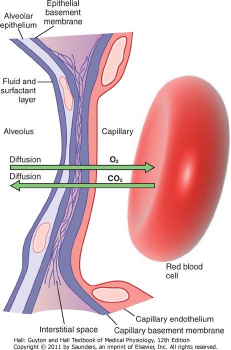 Componentes del Sistema Respiratorio Funcional - Tabaquismo 2.0