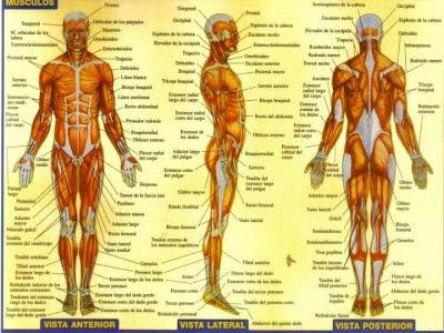 Componentes del sistema muscular - oscarmúsculo