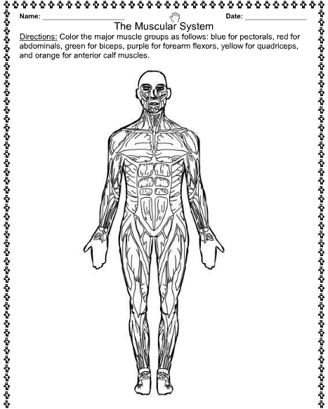 muscular system coloring pages - photo#7