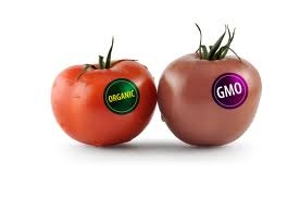 GMO essay : Which one is better ?