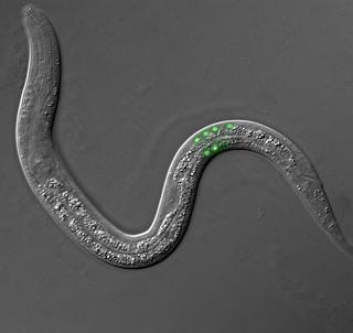 C-elegansGFP