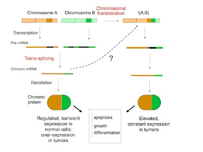 Our research welcome to the li lab 1 the generation of chimeric gene products by trans splicing of rna and by chromosomal translocation trans splicing illustrated on the left is proposed ccuart Images