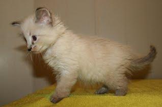 X Long Hair Lynx Point Rehomed Adopt A Blacksburg Rescue Cat