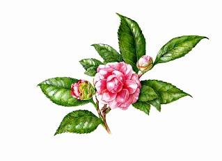 Durant Camellia