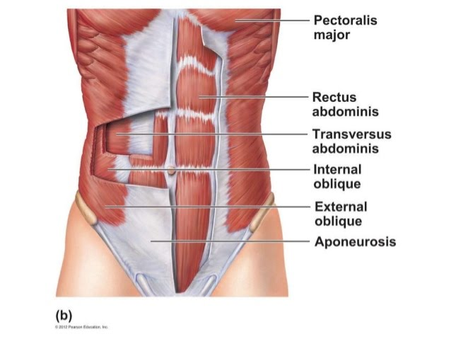 Location - Abdominal Muscles
