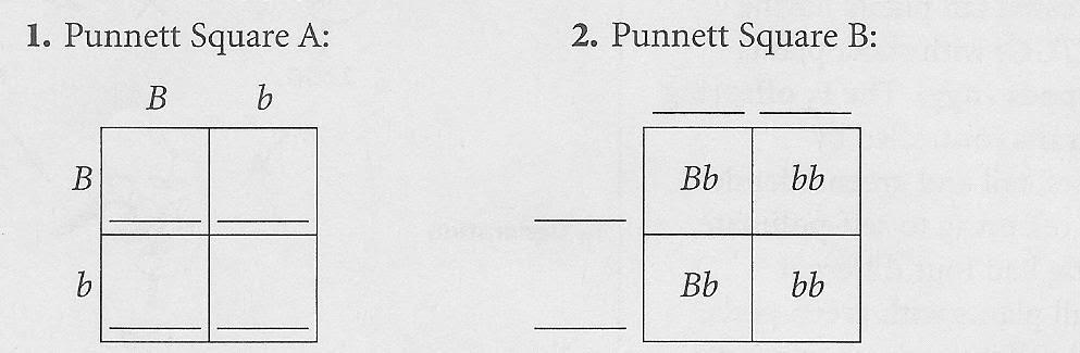 L3 Punnet Squares Mr Gilbert S Science Class