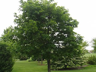 Norway Maple - Norway maple uses