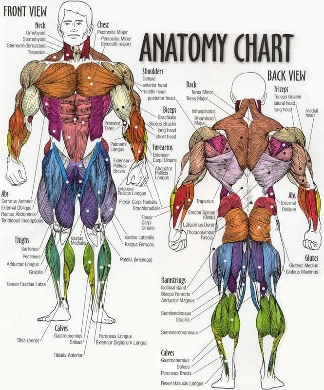 musculature anatomy chart: Muscle anatomy chart physical education