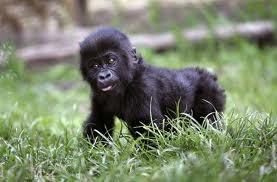 Mountain Gorilla - Endangered Animals, Class of 2019