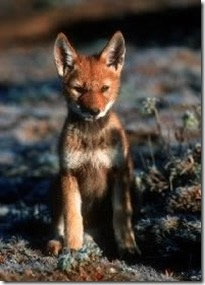 Ethiopian Wolf - Endangered Animals, Class of 2019