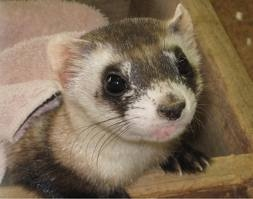 Black Footed Ferret - Endangered Animals, Class of 2019