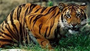 Bengal Tiger - Endangered Animals, Class of 2019