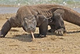 describe your animal include its size and average adult weight colors life span etc include details the komodo dragon