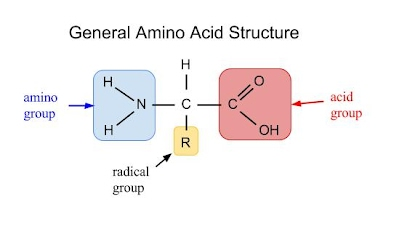 building proteins involves linking individual amino acids together the amino group from one amino acid molecule and the acid group from another amino acid