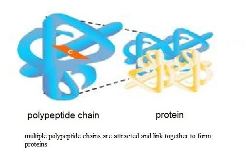 Biomolecules - Proteins - LHS CNS - Biology (Term B)