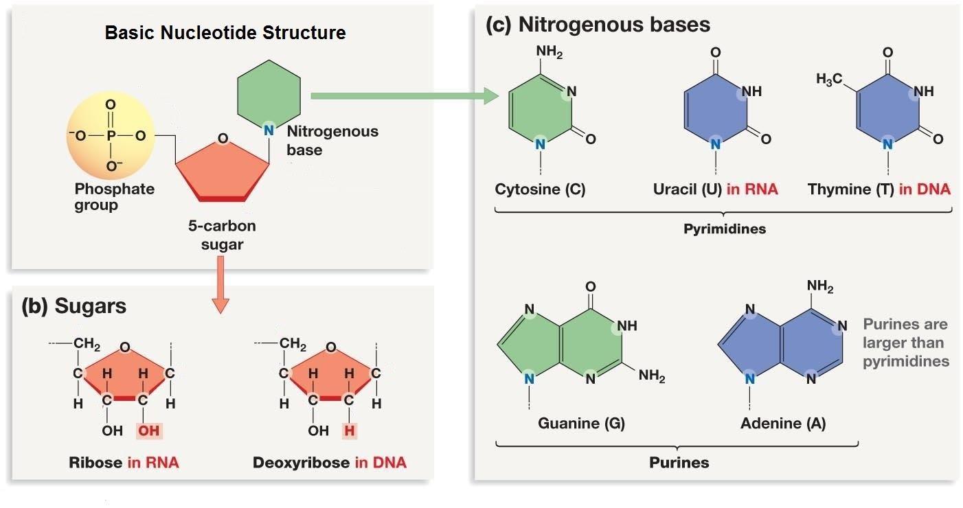 nucleotide differences.jpg