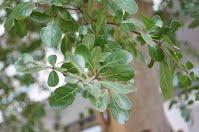 小葉欖仁樹