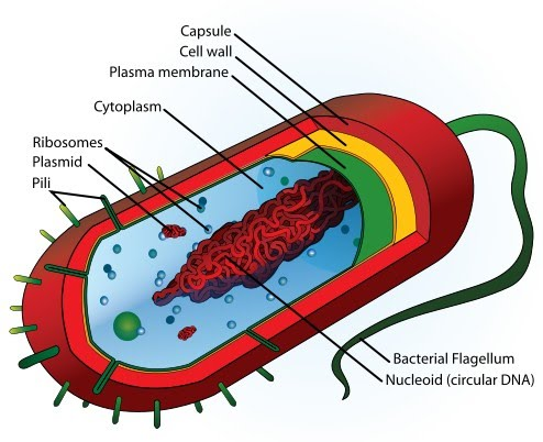 lung cell diagram wiring diagrams list  lung cell diagram #6