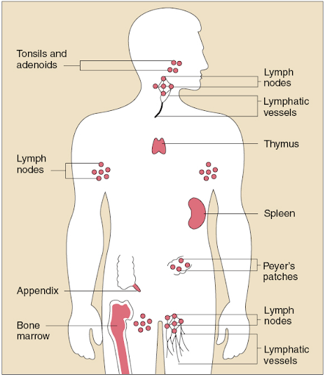 Immune System - Maria Elena\'s Anatomy and Physiology Website