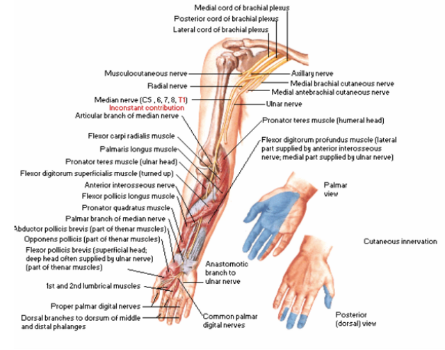 Median Nerve Anatomy Gallery Human Body Anatomy