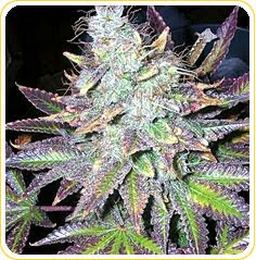 Purple Barney 420marijuana Strains
