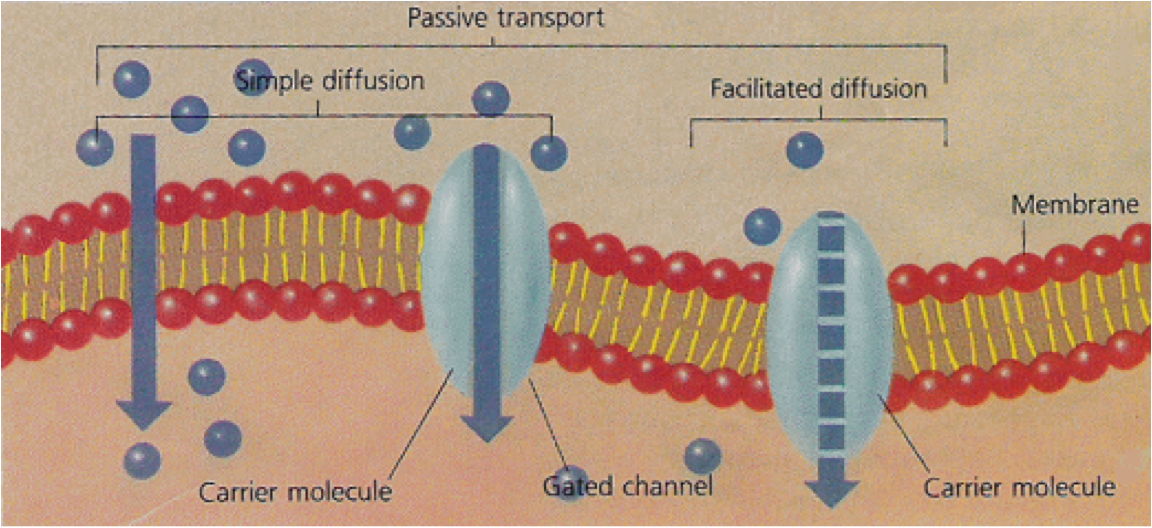 Unit 5: Cellular Transport - Living Environment