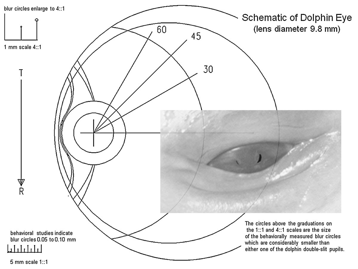 28+ [ Dolphin Eye Diagram ] | eye diagram national eye ... Schematic Diagram Of The Eye on cross section of the eye, flowchart of the eye, schematic eye retinoscopy, sagittal section of the eye, schematic section of the human eye, cutaway view of the eye, midsagittal section of the eye, transverse section of the eye, cross section diagram of eye,