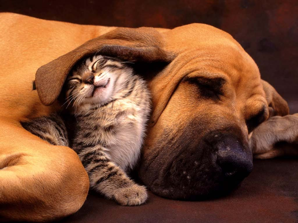 A photo of a dog and a kitten cuddling together.
