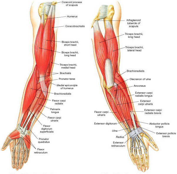 Bilderesultat for elbow anatomy