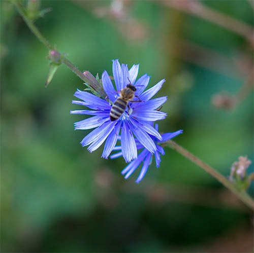 Blue flower with bee.