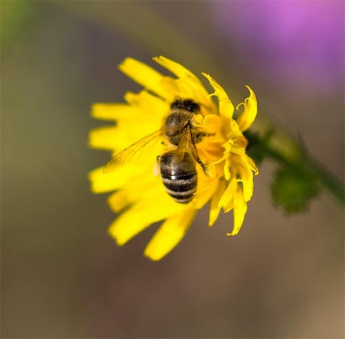 Yellow flower with bee free stock photo.