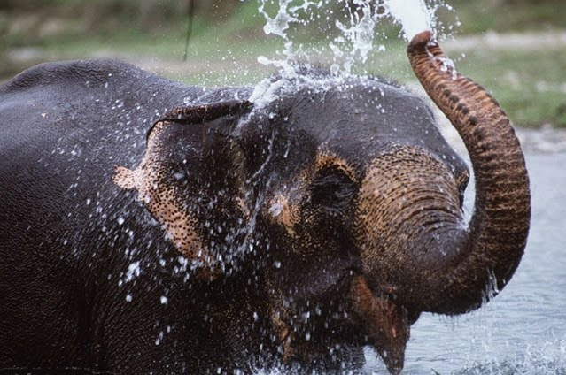 Survival Adaptations - African Elephant