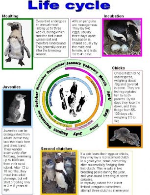 Life Cycle African Penguin