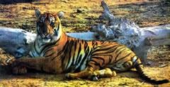 Tiger in Sundarban