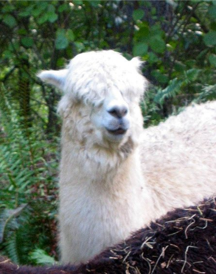 alpaca blanket project Merino wool lambswool shetland wool cashmere alpaca mohair  check out all pendleton's merino wool blankets here  made from us alpaca fibers collected by the alpaca blanket project still being produced reply.