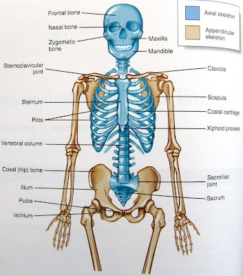Movement of bones in the Skeletal system - An adventure into the ...