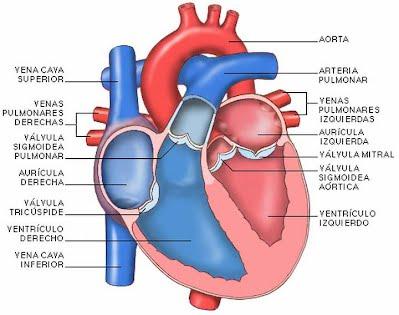 Partes, Disección de un corazón y Patología - Anatomia Andrea Nastase