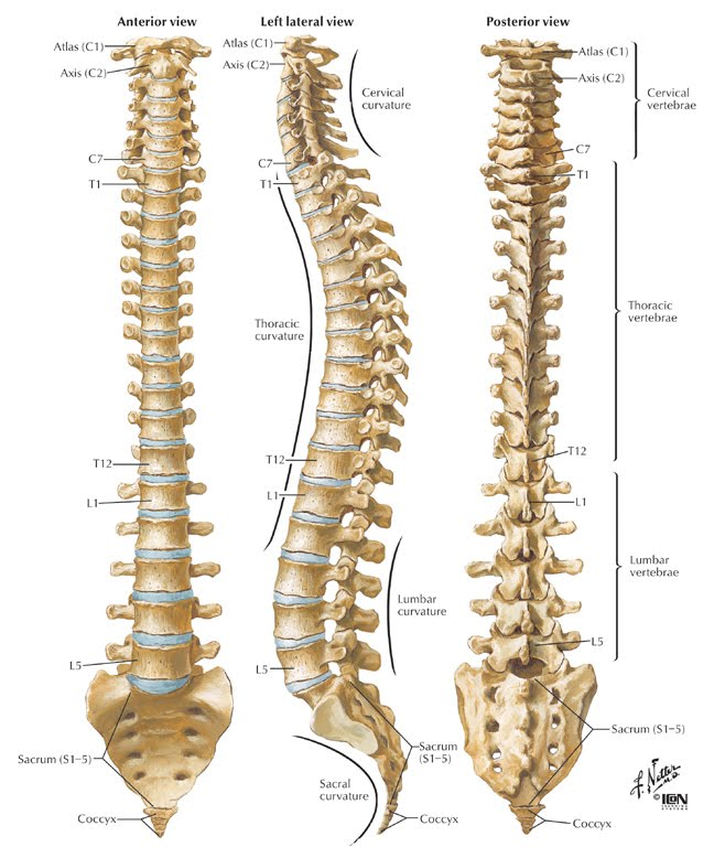The Spine - Anatomy and Physiology