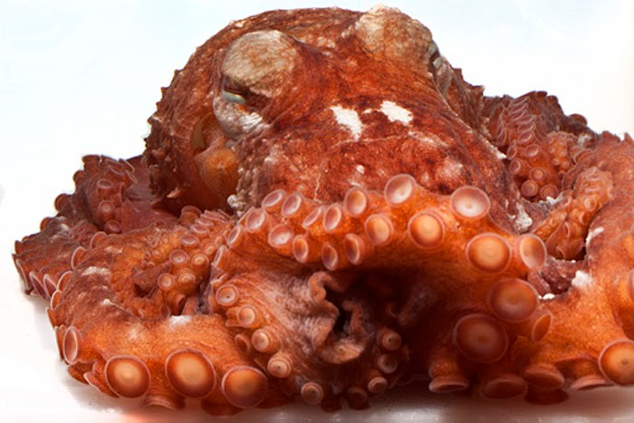 This Sneaky Octopus Species Has Avoided Detection, Til Now