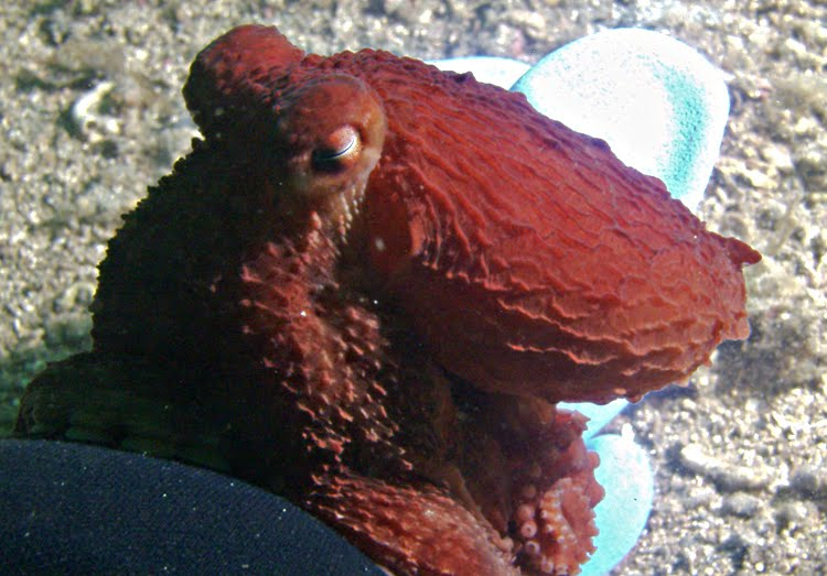 New octopus species discovered in Alaska