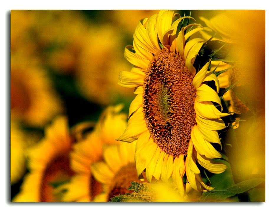 گل آفتابگردون